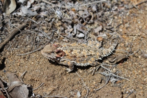 We've been told this is a horny toad. While other lizards are very bashful and camera shy, the horny toad is an unrepentant self-promoter.