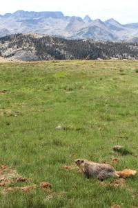 Nice marmot!